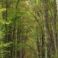 Мой лес! :: Наташа Шамаева