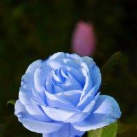 На свете нет цветка нежней, чем роза голубая... :: *MIRA* **