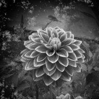 Цветок в монохромном цвете :: Владимир Виноградов