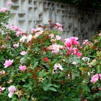 Осенние розы в парке... :: Тамара (st.tamara)