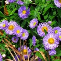 Сиреневые цветы :: Сергей Карачин
