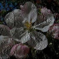 Застывший яблоневый цвет :: Нина Корешкова