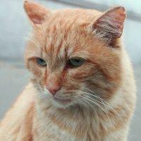 Грустная кошка из нашего двора :: Александр Попов