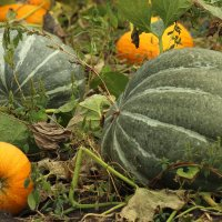 Урожай соседа) :: Наташа Шамаева