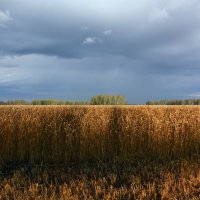 Пшеничное  поле :: Геннадий Супрун
