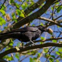 Ворона :: Eugen Pracht