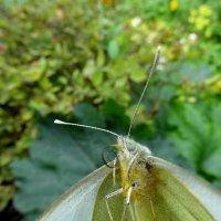 Докладчик-бабочка. :: nadyasilyuk Вознюк