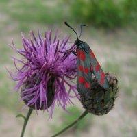 Бабочка-пестрянка :: Лена Минакова