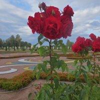 розы Ораниенбаума :: Елена
