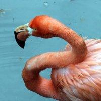 Фламинго :: Сергей Рубан