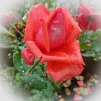 Красная роза раскрыла бутон - и разлились ароматов флюиды.... :: Galina Dzubina