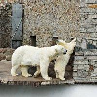 Живой символ Ленинградского зоопарка –  белый медведь :: Елена Павлова (Смолова)