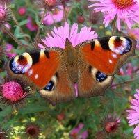 Бабочка красавица :: °•●Елена●•° Аникина♀