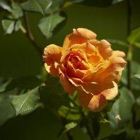 Не розовая роза :: Сергей Рычков