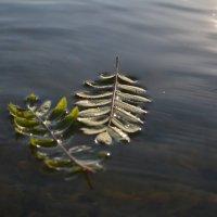 листья рябины :: Валентин Кошелев