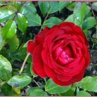 Осенняя роза :: Вера