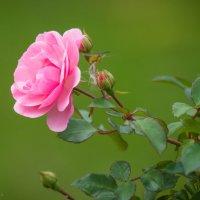 Осенняя роза :: Мария Какоткина