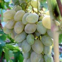 Мой виноград... :: Тамара (st.tamara)