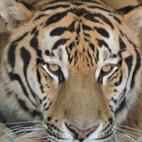 Амурский тигр :: Алёна Закатченко