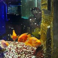 золотые рыбки :: konstantin tatonkin