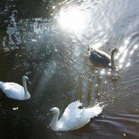 Танец лебедей в лучах солнца :: Елена Павлова (Смолова)
