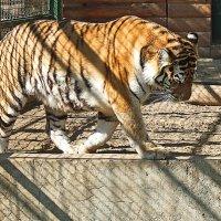 Амурский Тигр :: Evgeny St.
