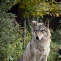 Волк :: Аля Дымкова