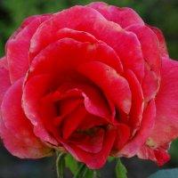 Розы сентября... :: Тамара (st.tamara)