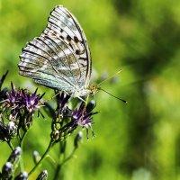 Бабочка в профиль :: Анатолий Иргл