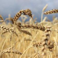 Налилась пшеница,потяжелела... :: Тыртышных Светлана