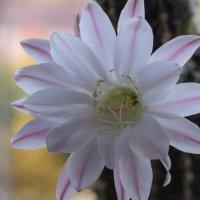 Цветок кактуса :: Ирина Kачевская