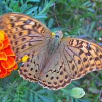 Бабочка :: Ann Ny