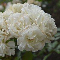 Розы :: Андрей Кончин