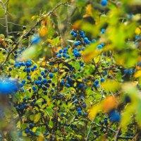 Осенние ягоды) :: Дарья Самыкина