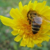 Пчелка кушает ! :: Татьяна ❁