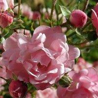 Розы,розы,розы... :: Владимир Бровко