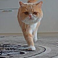 Мой тигр -Гороша :: Galina Dzubina