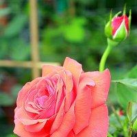 Роза с бутоном. :: Larisa