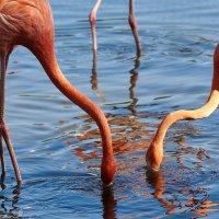 Фламинго :: Игорь Иванов