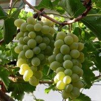 Виноград :: Наталья Джикидзе (Берёзина)