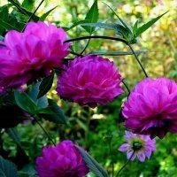 Цветы сентября :: Милешкин Владимир Алексеевич