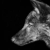 Канадская волчица... :: олег