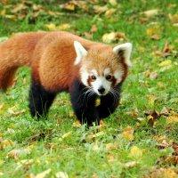 Панда по осени гуляла :: Alexander Andronik