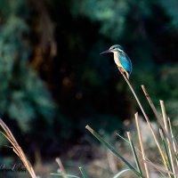 Alcedo atthis-зимородок обыкновенный.... :: Павел Баз