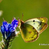 Бабочка :: николай матюшенков