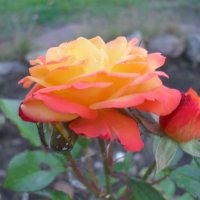 Осеняя роза :: Анатолий