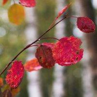 Осень осины :: Виталий