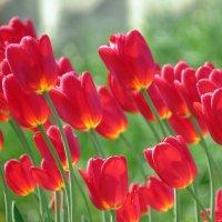 тюльпаны :: валя