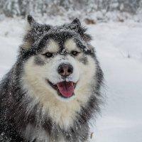 Любитель снега.. :: Светлана