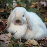 ...ФИМА. (сиамский кролик) :: Elena Tatarko (фотограф)